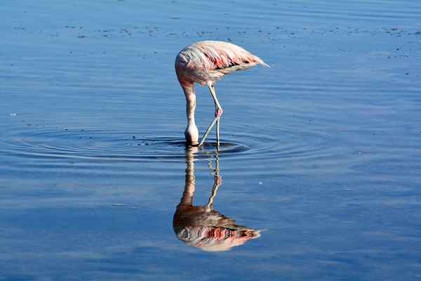 Flamingo feeding.