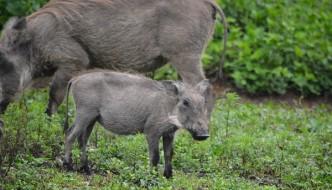 baby wart hog