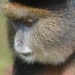 Golden Monkey of Rwanda, Africa
