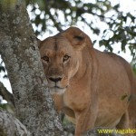 Lioness in Lake Nakuru National Park