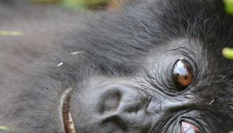 Baby mountain gorilla.