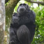 Pensive chimp in Uganda