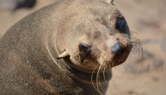Cape Cross Seal looking at you from Namibia, Africa