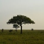 trees in the Serengeti, Africa