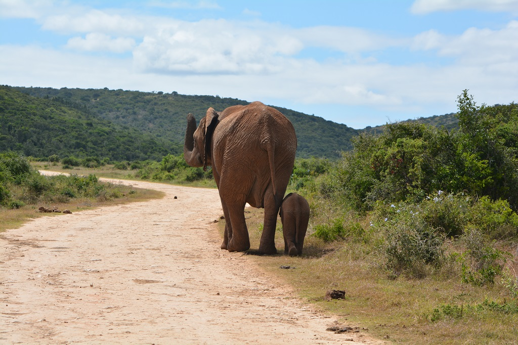 Driving behind a elephant with her baby