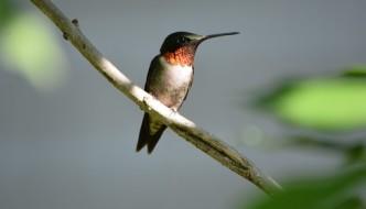 humming bird sitting