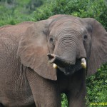 Elephant in Addo National Park, South Africa