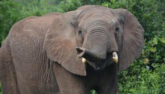 elephant in addo