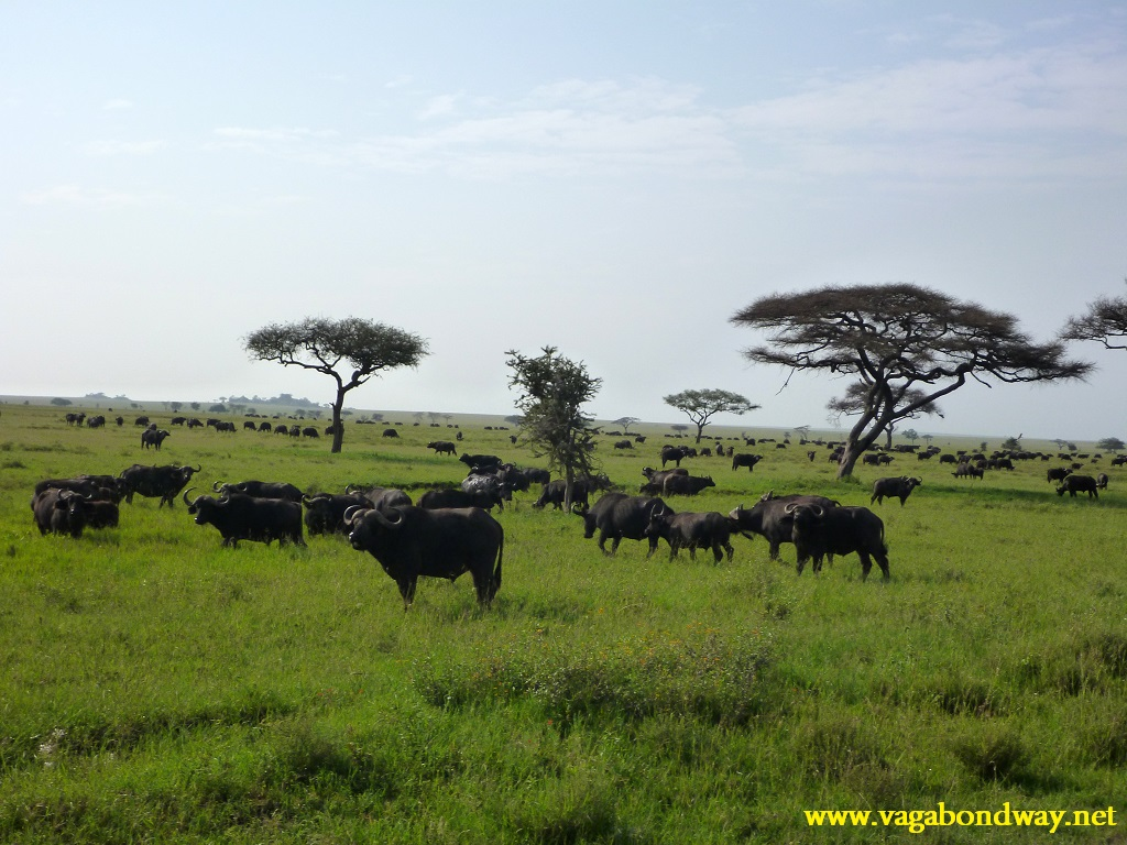 field of cape buffalo
