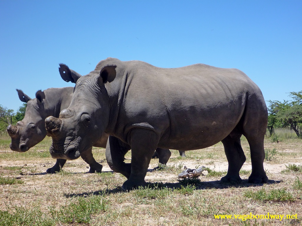 rhinos with no horns
