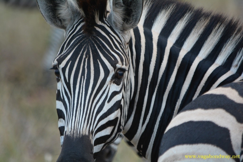 Zebra looking at you in South Africa