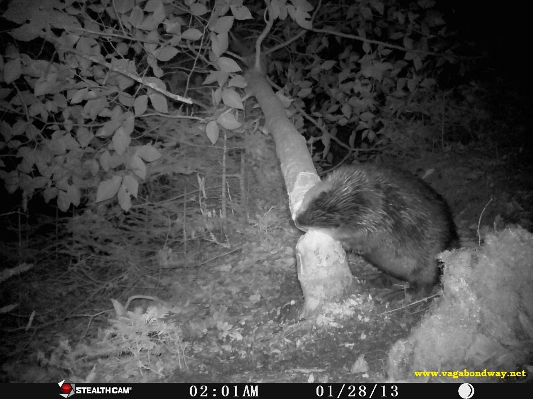 Beaver fells tree