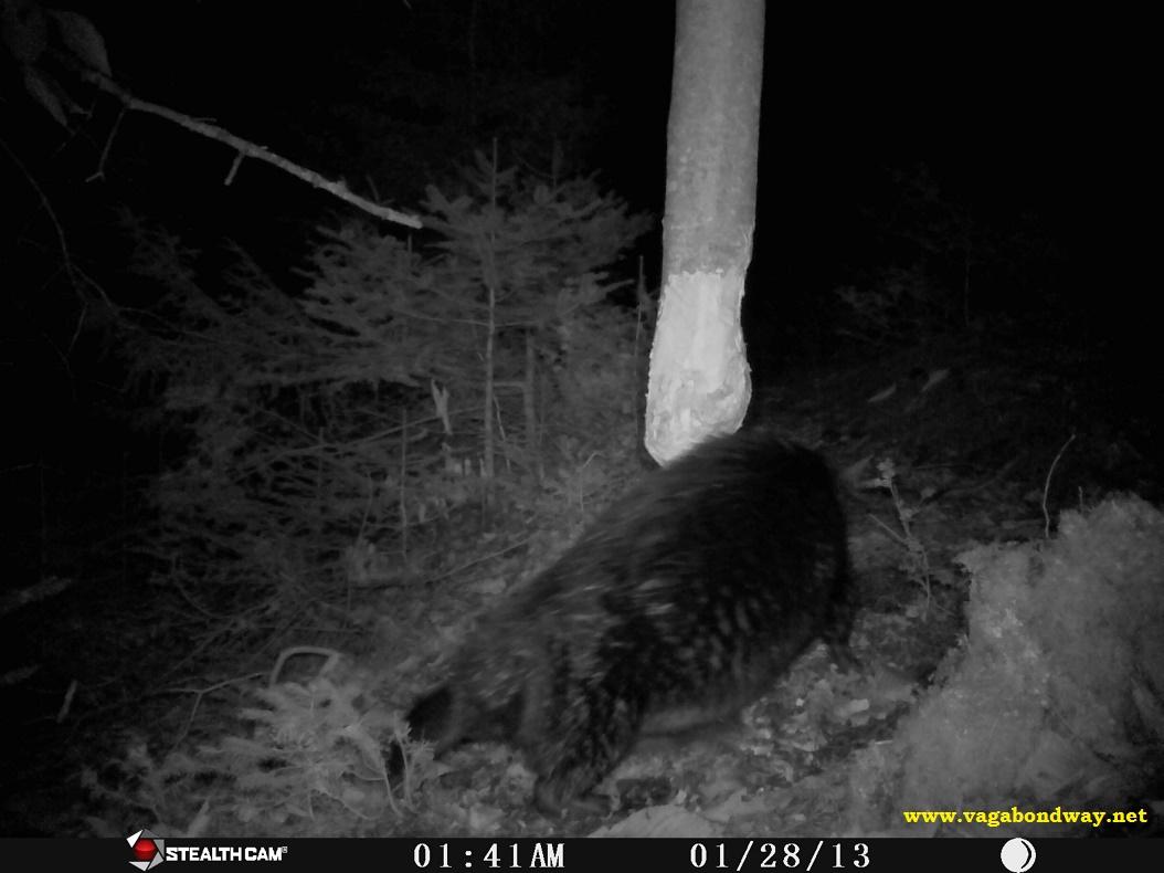 Beaver hind leg