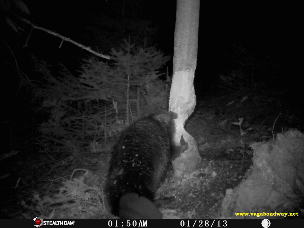 Beaver bracing with two front paws