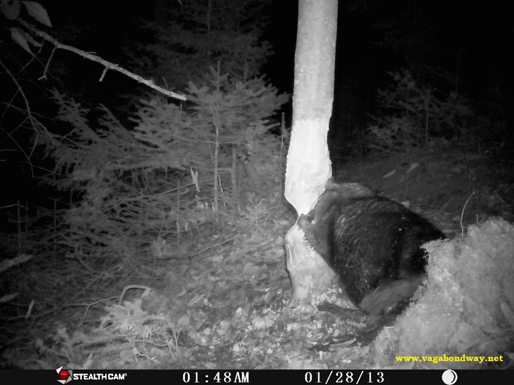 Beaver chewing on back