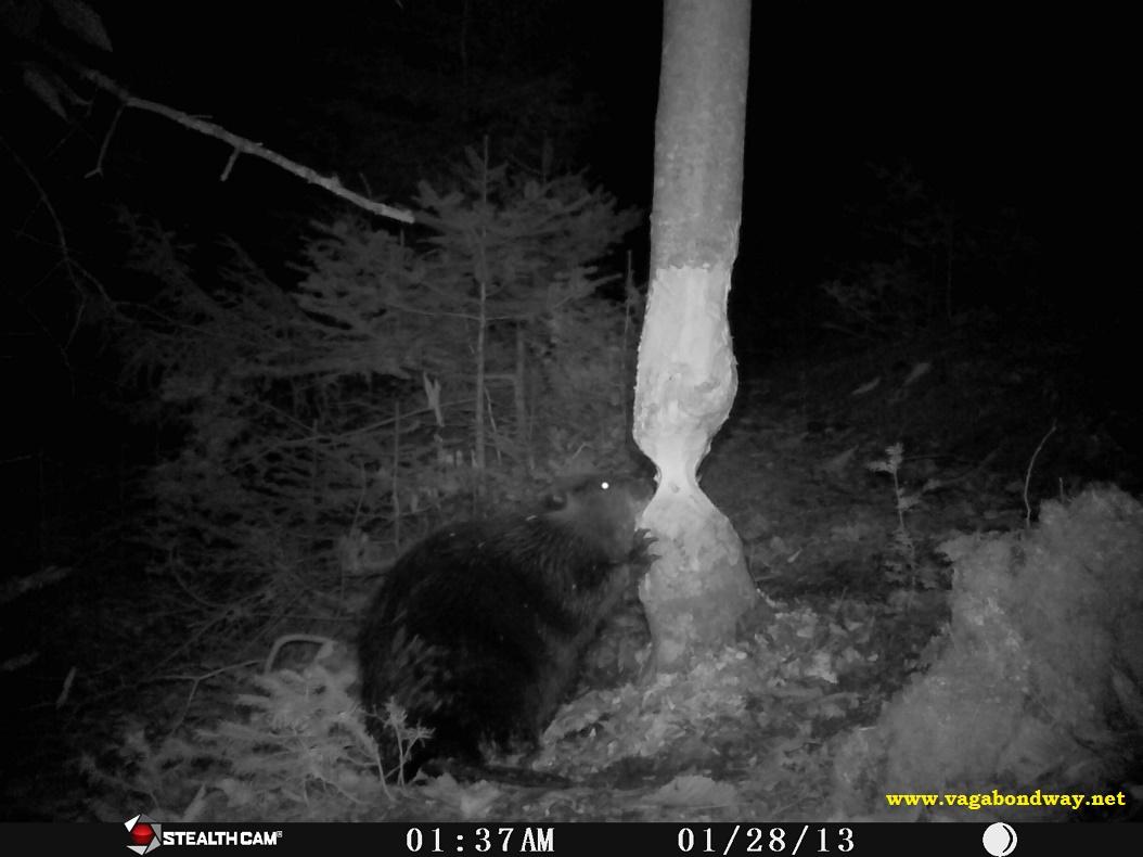Beaver gnawing on tree
