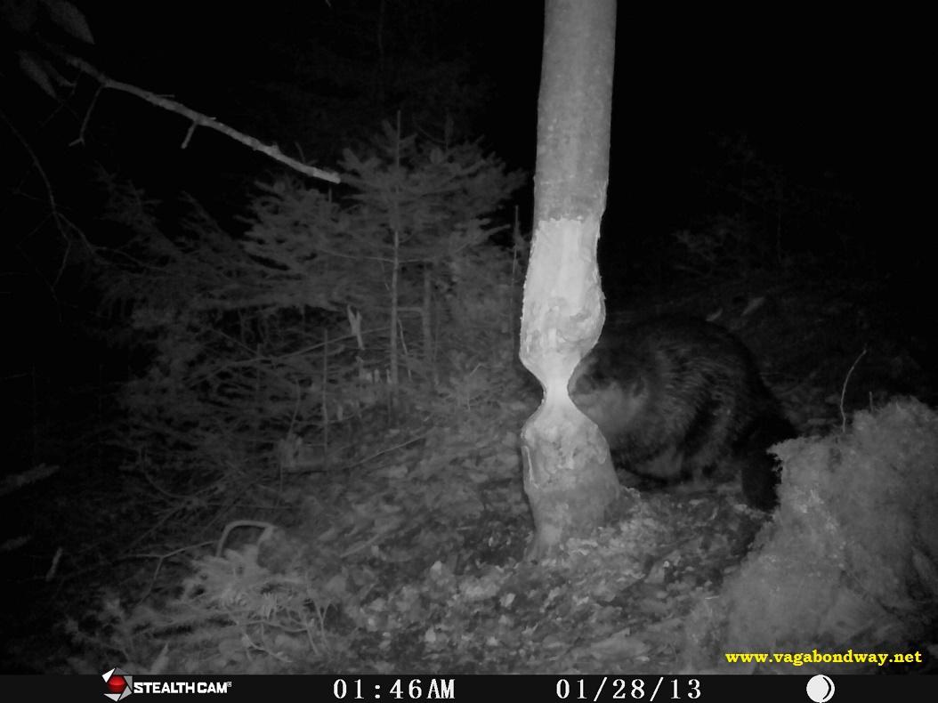 "Beaver chewing ""U"""