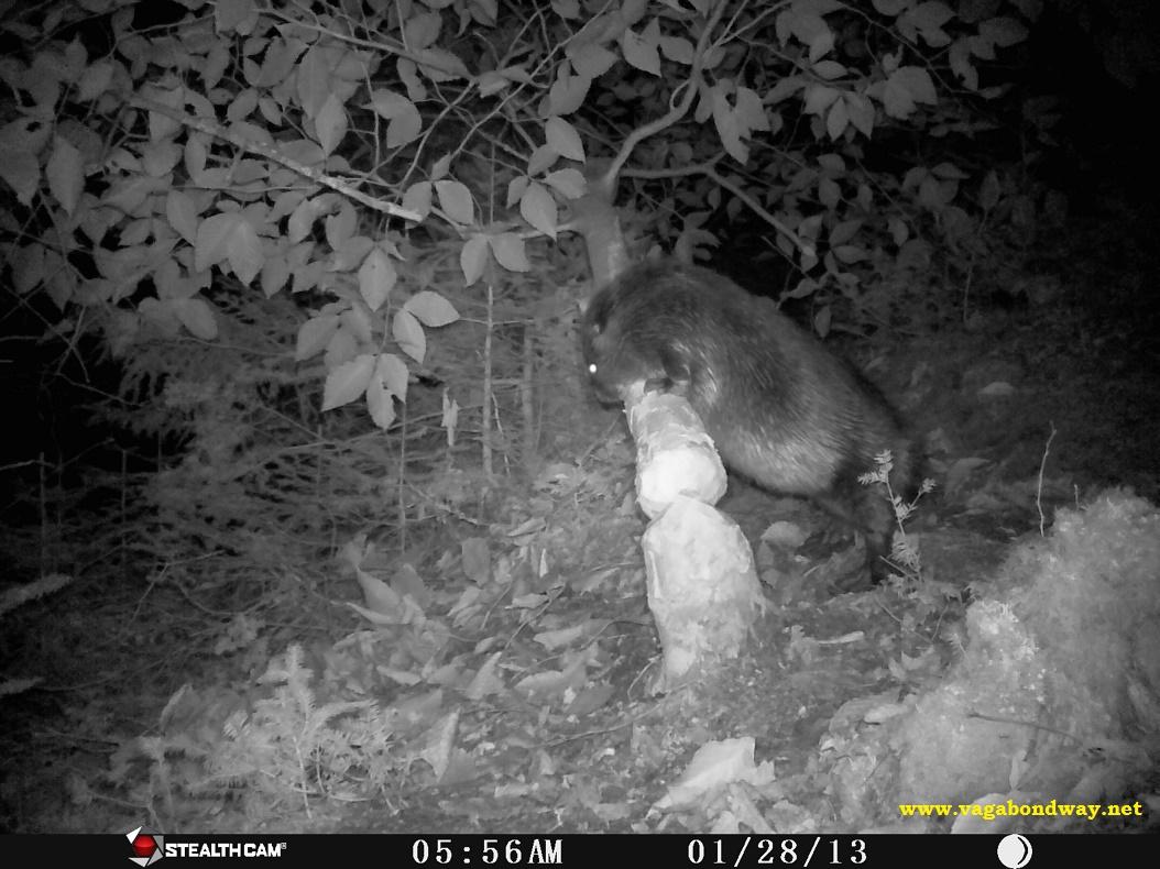 Beaver belly