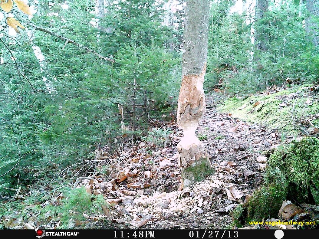 Tree Beaver will fell