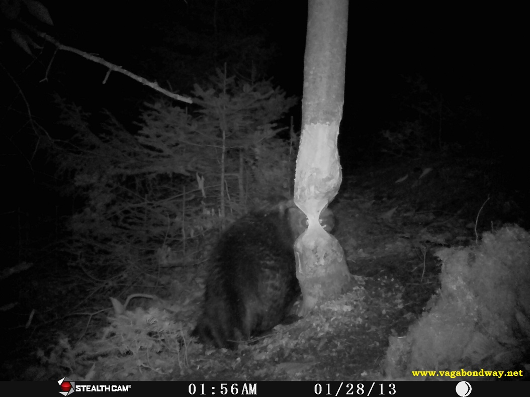 Beaver chomping teeth