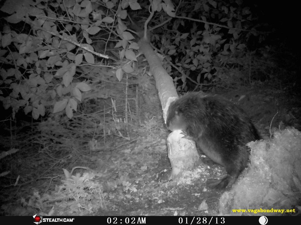 Beaver webbed feet
