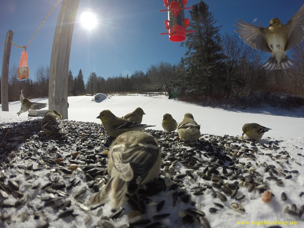 Vermont gopro of Finches