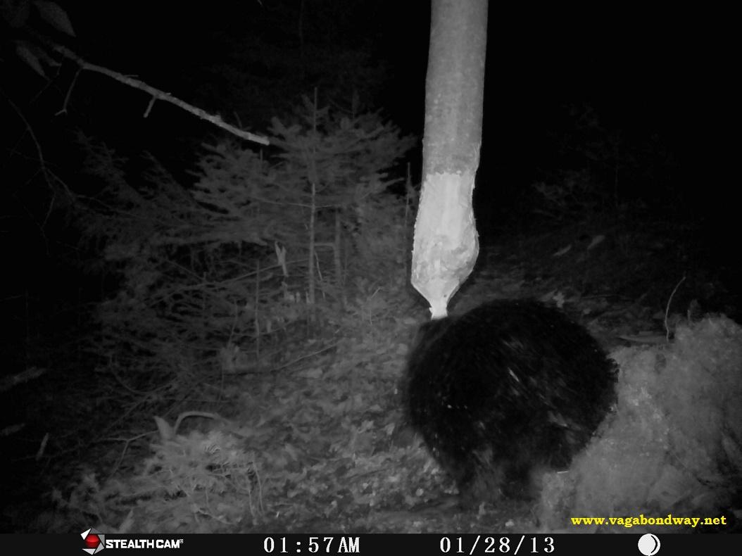 Beaver eating tree