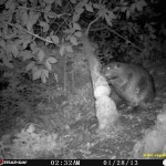 Amazing photos of a Beaver Felling Tree on Wildlife Camera
