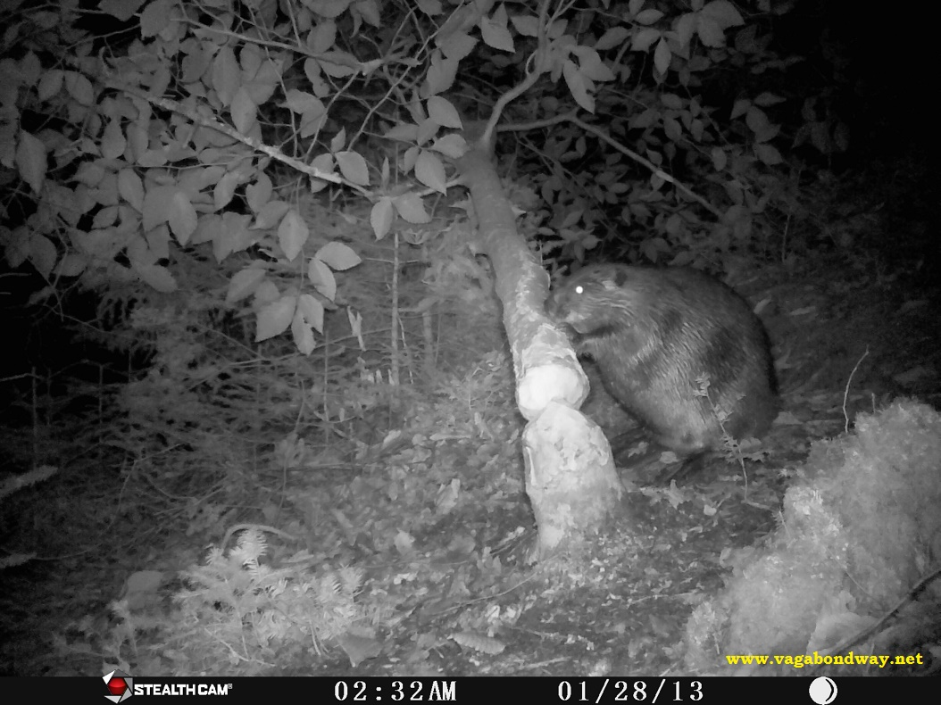 Beaver on wildlife camera