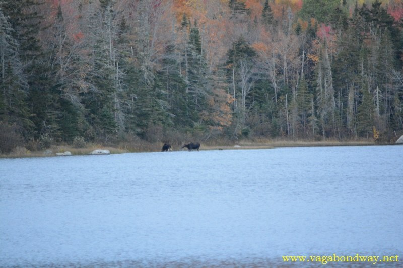 Moose in pond near VT woods