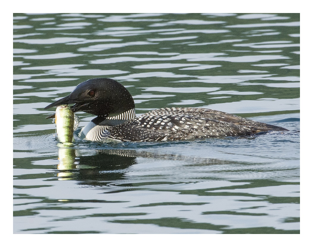 Loons eating fish