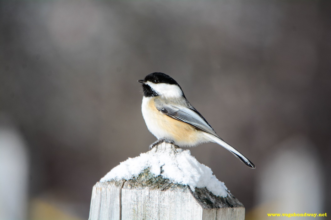 Chickadee in VT