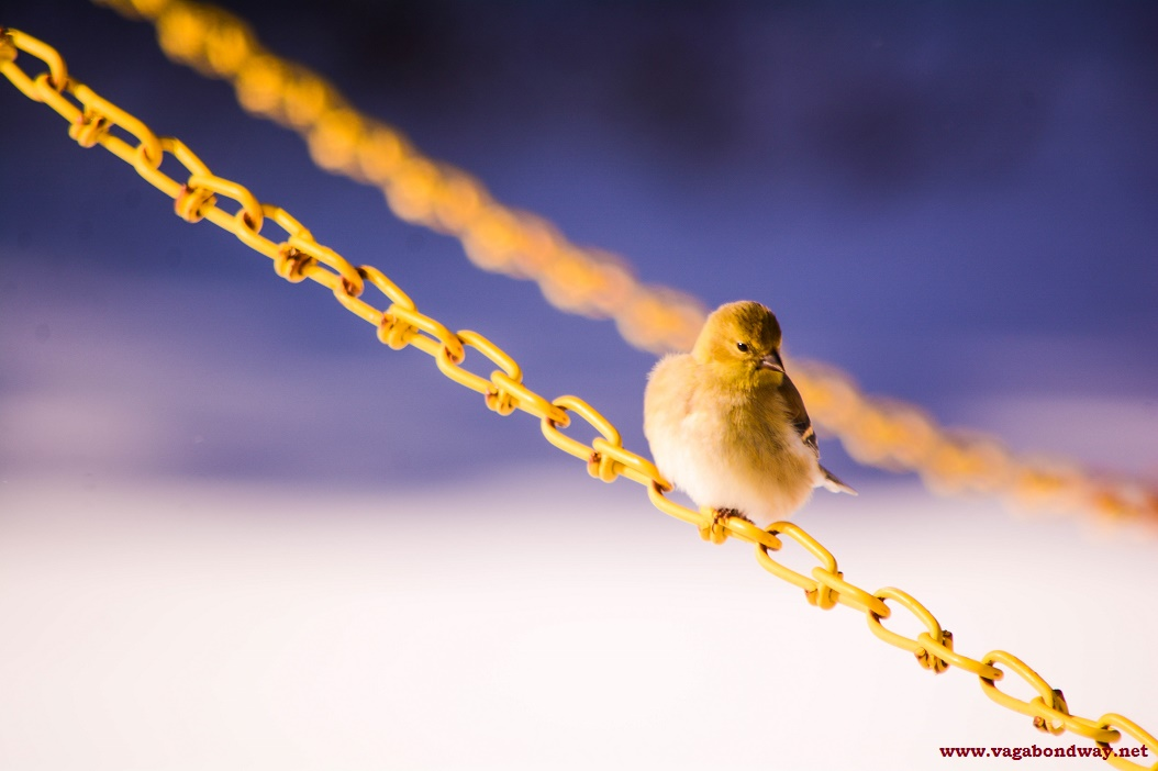 Finches on Chain VT