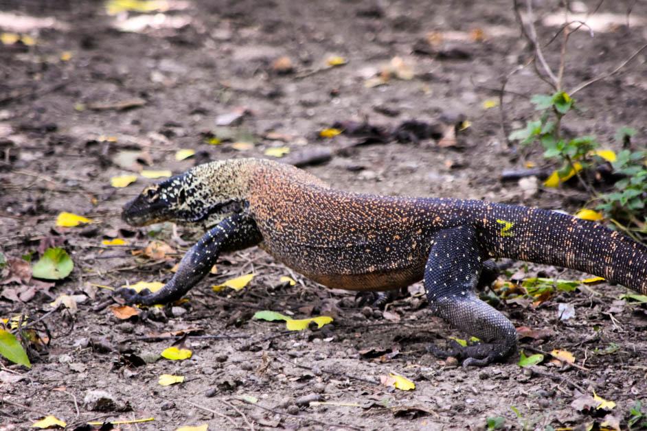 Baby Komodo in Indonesia (1 of 1)