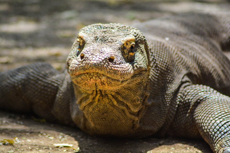Komodo Dragon (1 of 1)
