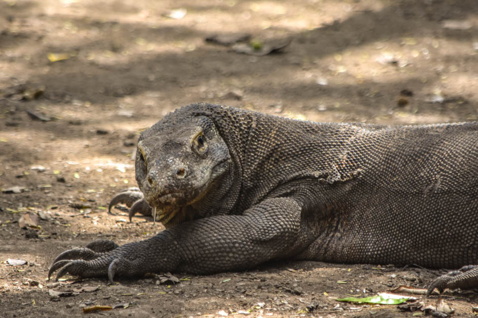 Monitor lizard vs komodo dragon