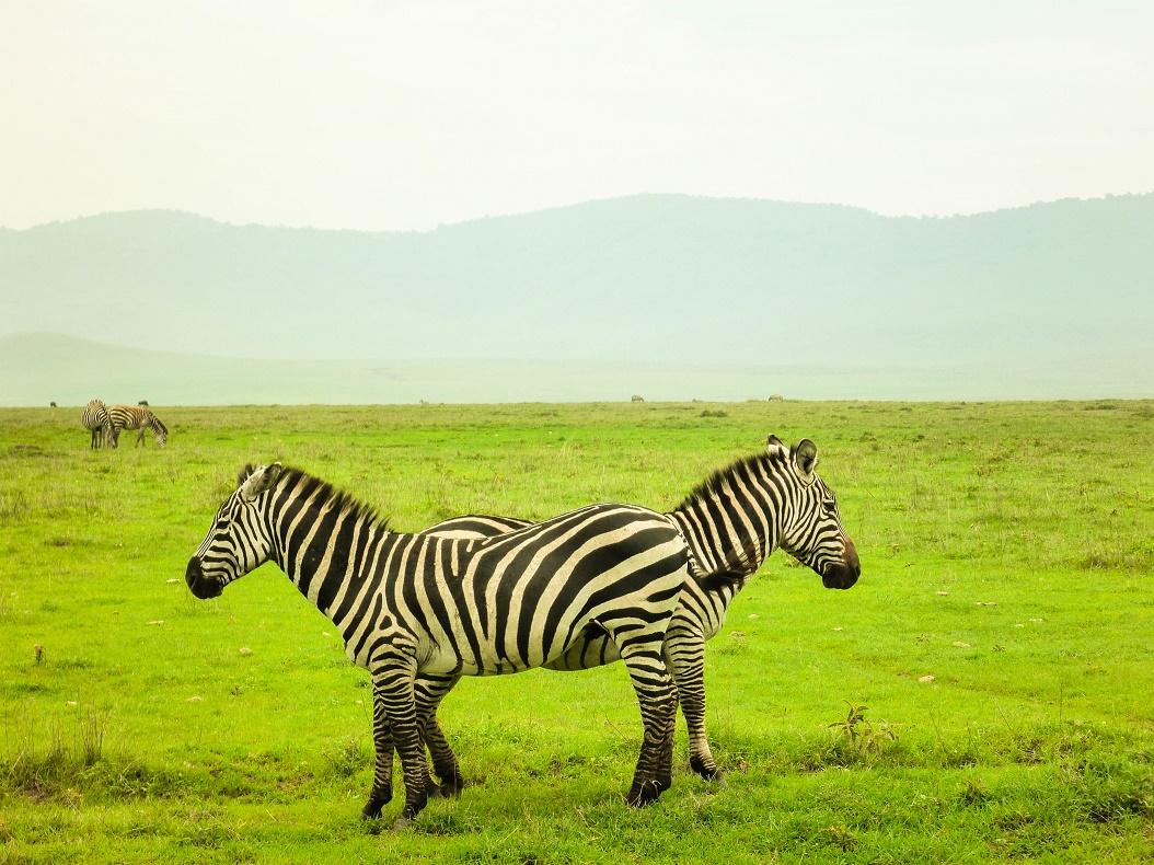 Zebras in Ngorongoro