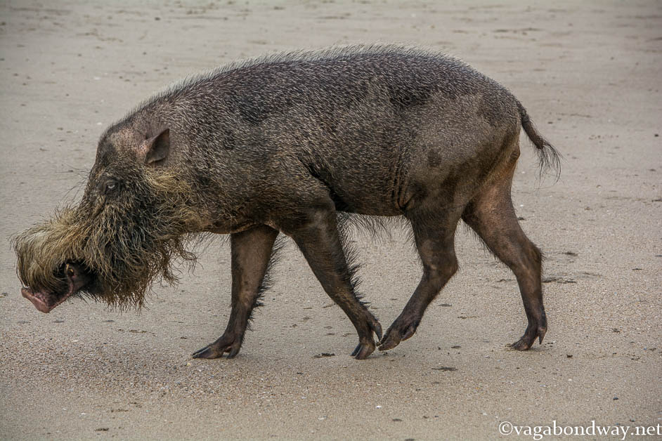 Bearded pig Malaysia