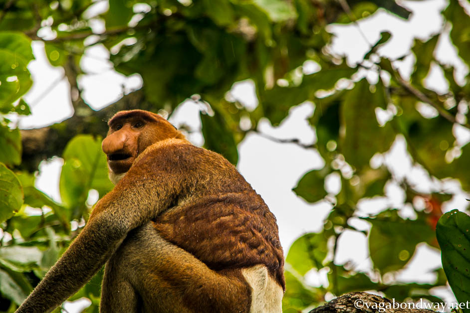 Proboscis Monkey Malaysia