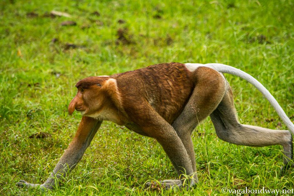 Proboscis Monkey walking in Malaysia