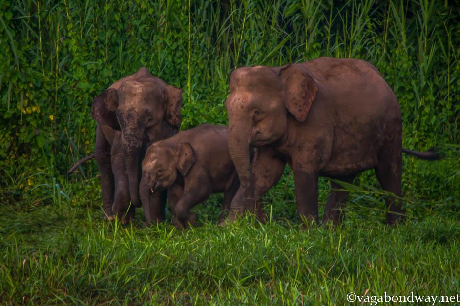 Pigmy elephants kinabatangan river