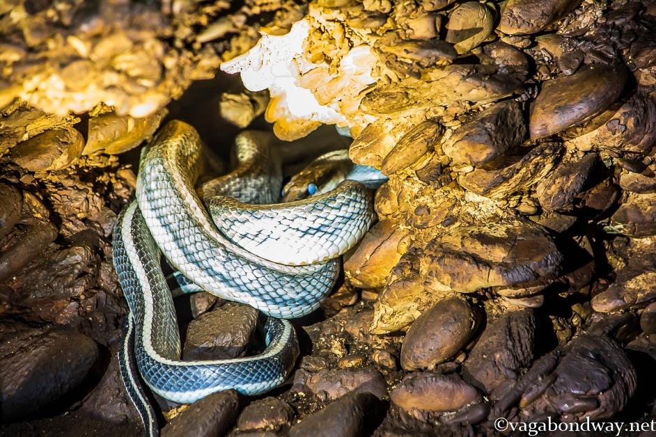 racer-snake-shedding