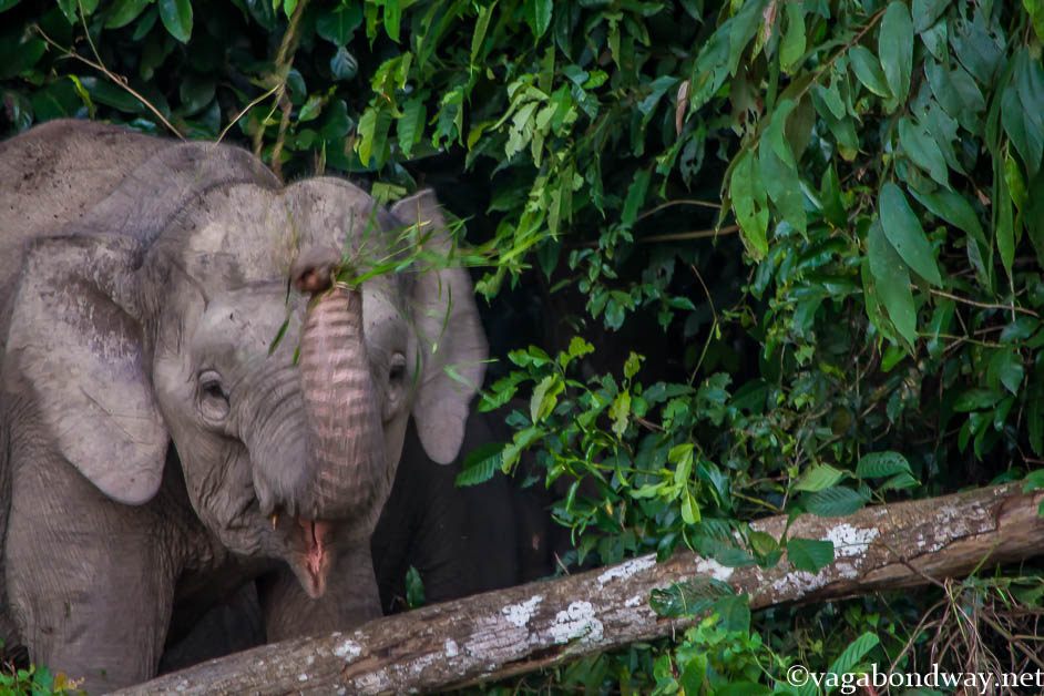 Pygmy Elephants Vagabond Way