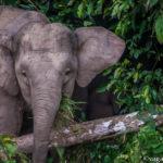 Pygmy Elephants in Borneo being Amazing and Joyfully Cute