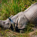 Do Rhinos Live in Nepal?