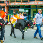 Strolling of the Heifers When Cows walk down Main St in Vermont